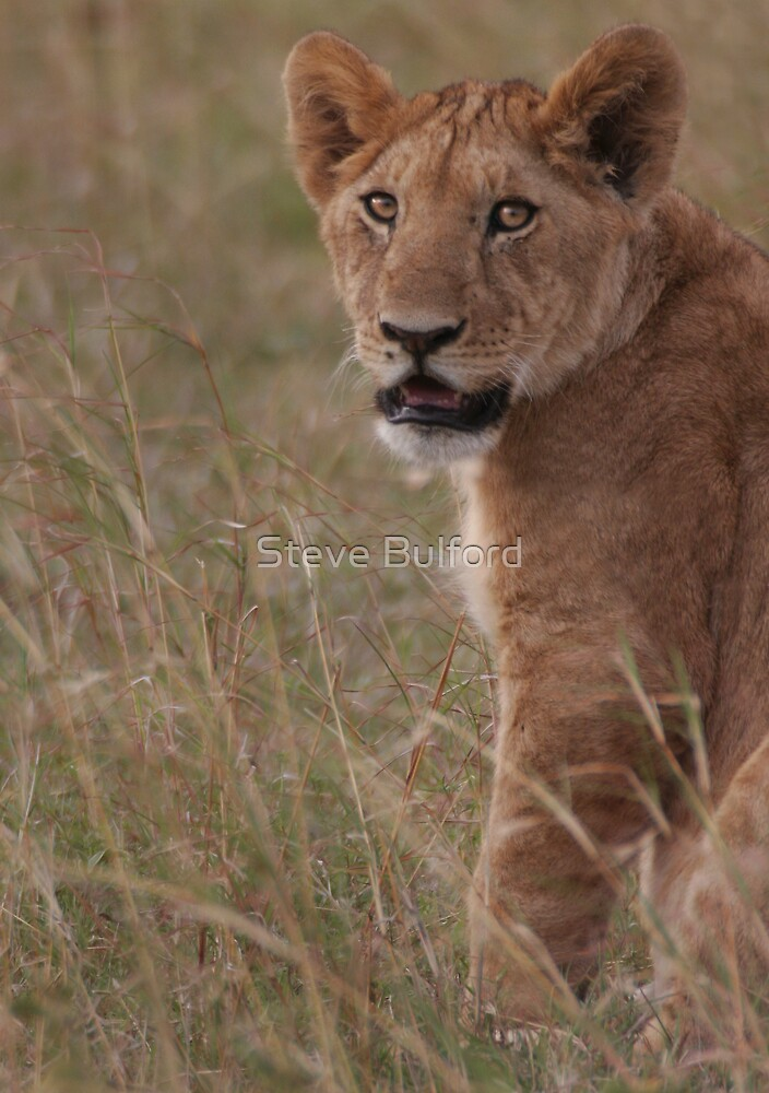 Lion by Steve Bulford