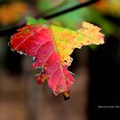 Yellow And Red Maple Leaf In Autumn   Middle Island, New York  by © Sophie W. Smith