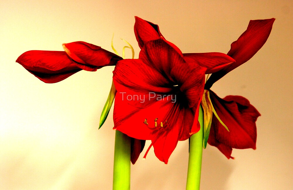 RED FLOWERS 2 by Tony Parry
