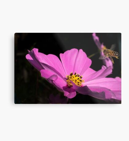 Bee coming into land  Metal Print