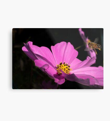 Bee coming into land  Metal Print