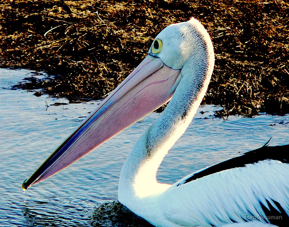 Pelican at Stony Point II by Tom Newman