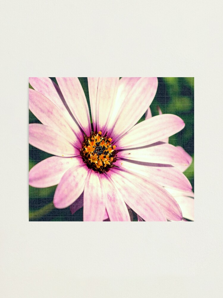 Alternate view of Daisy. Photographic Print