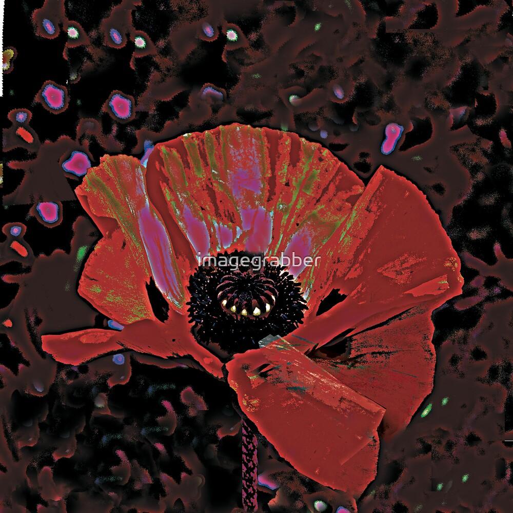 red poppy by imagegrabber