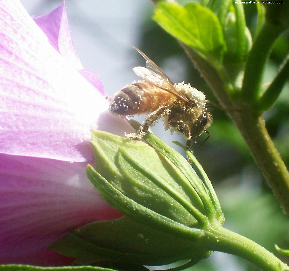 Bee Covered In Pollen by 1greenthumb