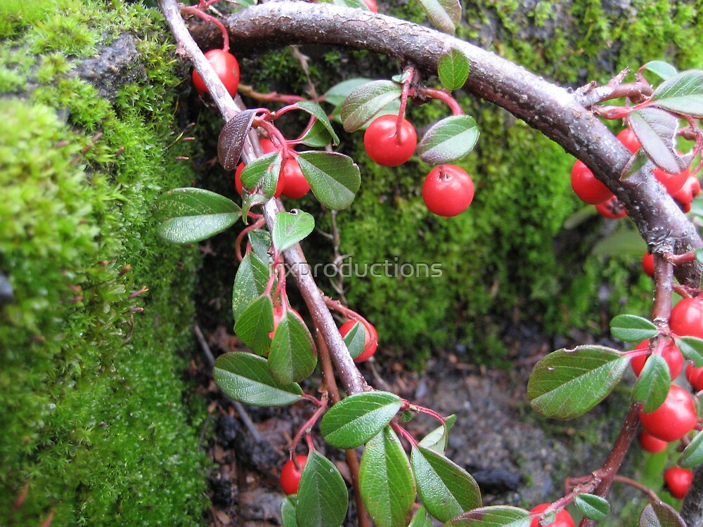 Northwest Berries and Moss by irxproductions