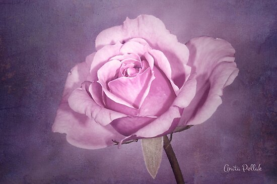 Tinted Rose with Textured Background by Anita Pollak