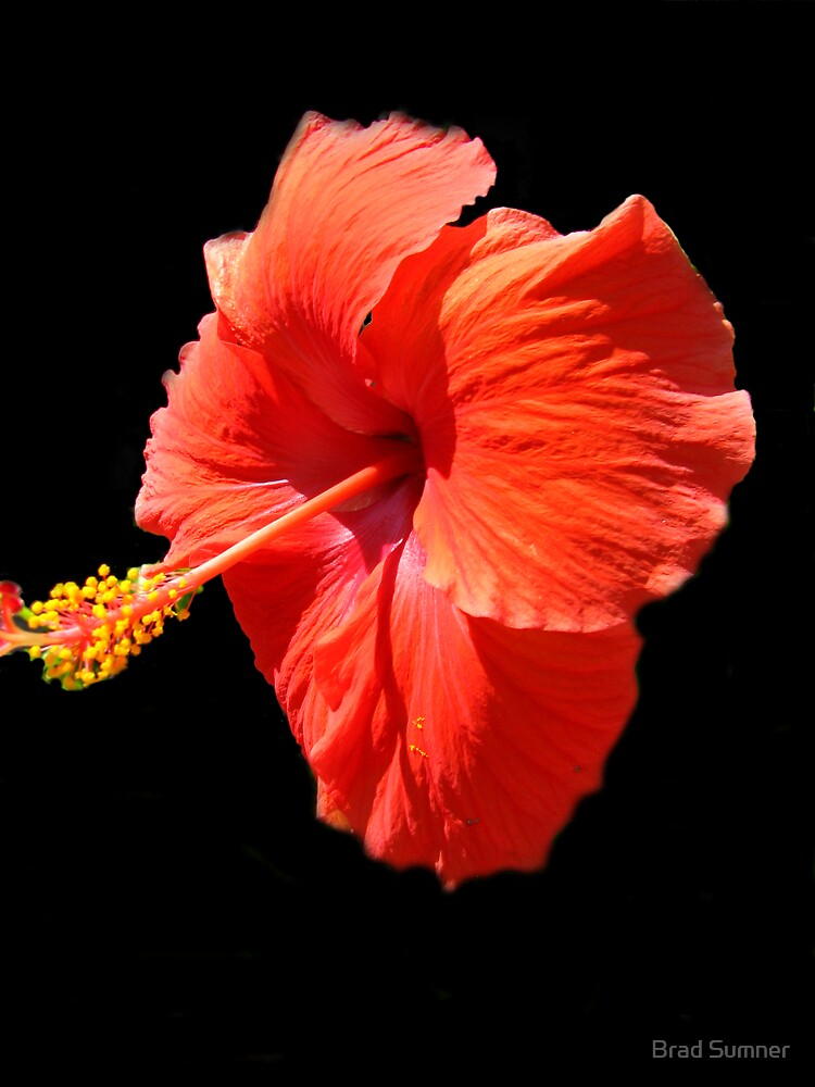 Hibiscus by Brad Sumner