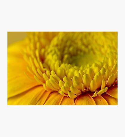 Yellow Gerbera Macro  Photographic Print