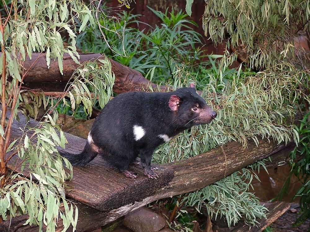 tasmanian devil by katejones