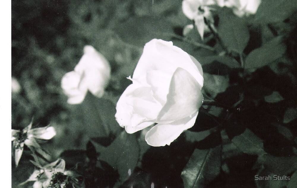 Black and White Rose by Sarah Stults
