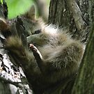 Little raccoon sleeping in a tree by Kate Farkas