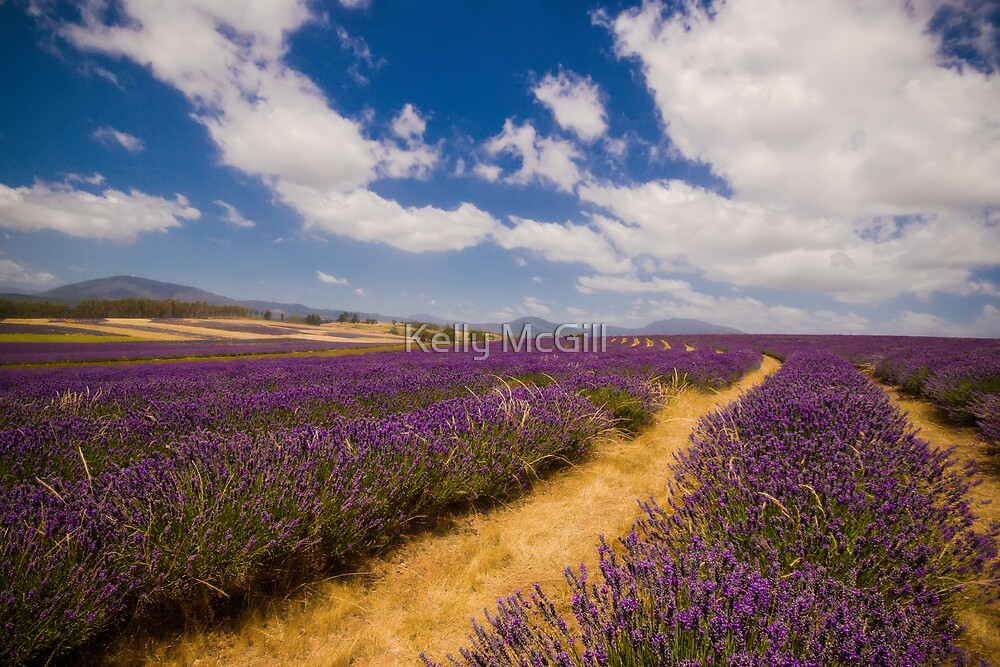 Bridestowe Lavender Farm by Kelly McGill