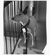 Bull Terrier at Night Poster