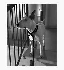 Bull Terrier at Night Photographic Print