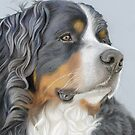 Bernese Mountain Dog, Ruger by bydonna