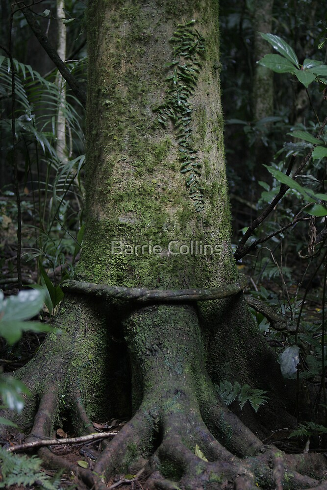 Rainforest Giant by Barrie Collins