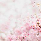 Gentle Cherry Blossom Flowers  by Yuko Yamada