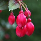 Beautiful Fuchsia Buds Brightly Dance by Joy Watson