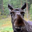 Curious moose by Arie Koene