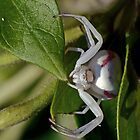 The white spider 2 red stripes 2  by Okaio Créations 2015 by fz 1000 400.000 photos framings different picture on request on each support  by . Okaïo