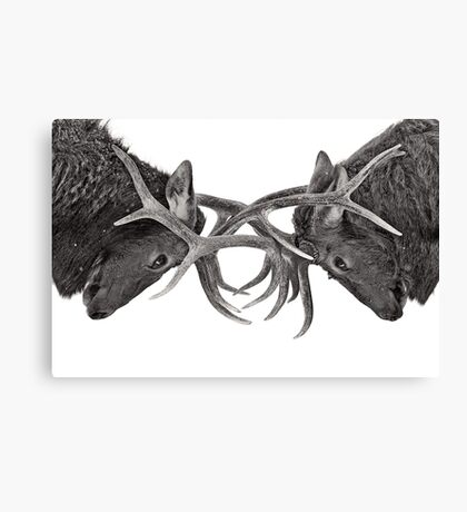 Eye 2 Eye - Elk fight Canvas Print
