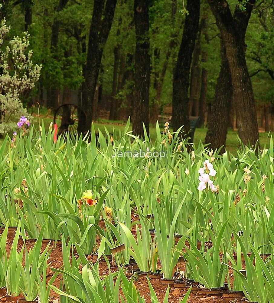 Iris Garden (Texas)  by Jamaboop