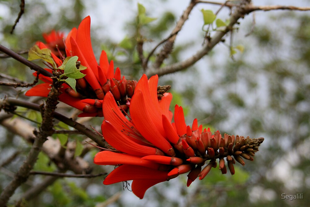 Coral Tree by Segalili