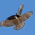 Crow vs Hawk by MIRCEA COSTINA