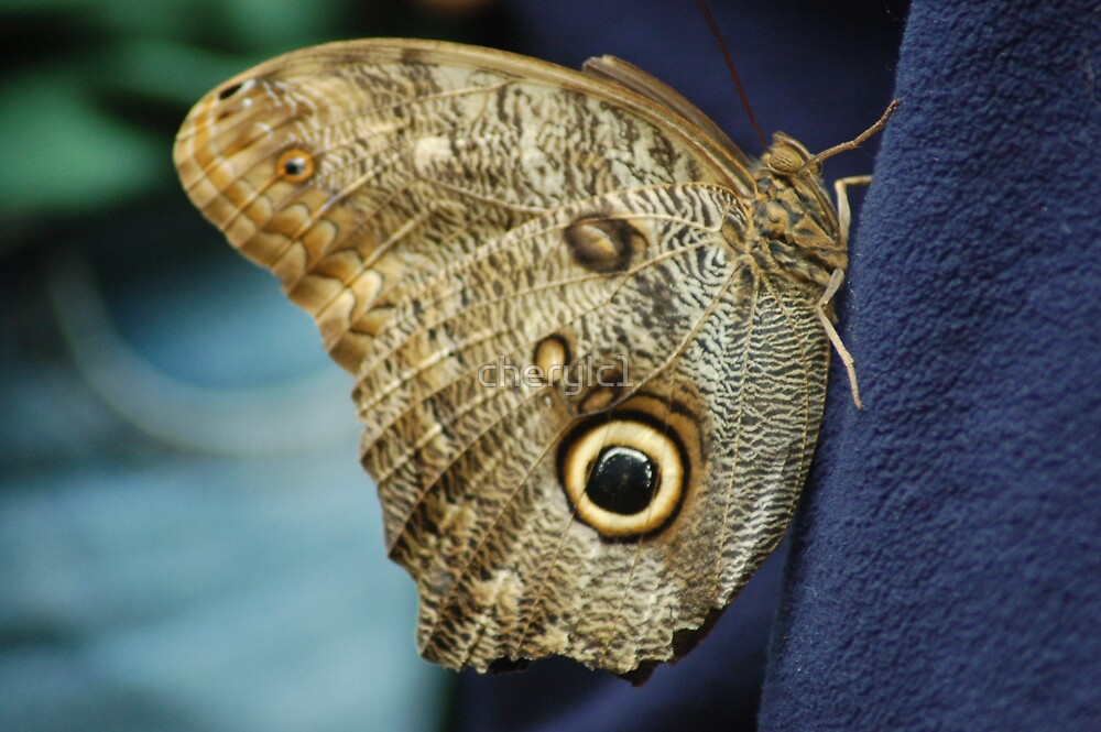 Owl Butterfly by cherylc1