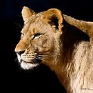 Young Lioness by Jerry  Mumma