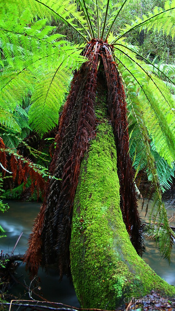 Rainforest Fern by Clinton Barnes