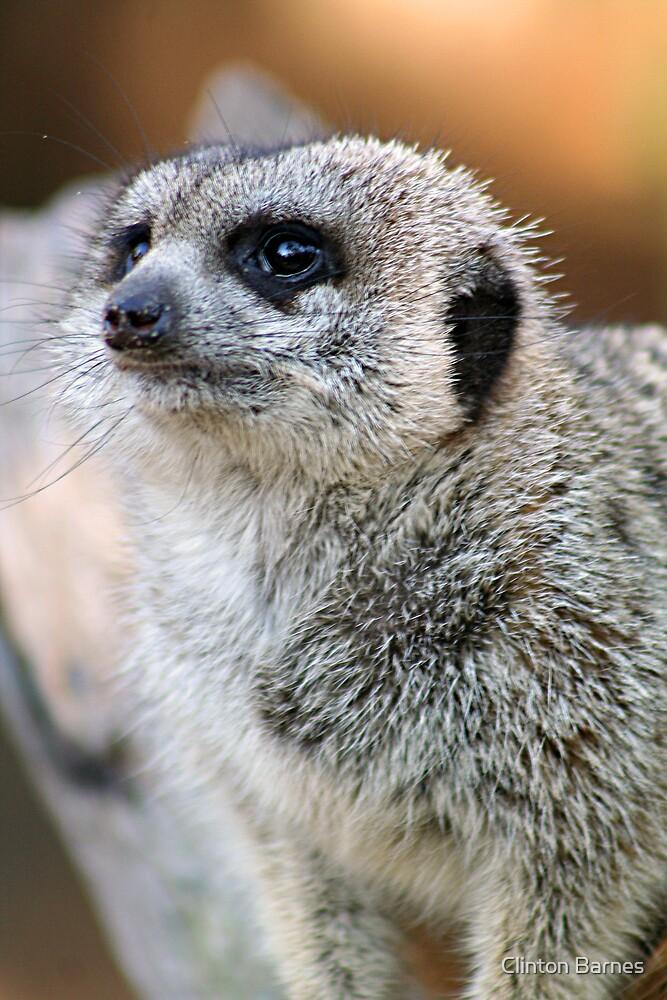 Meerkat by Clinton Barnes