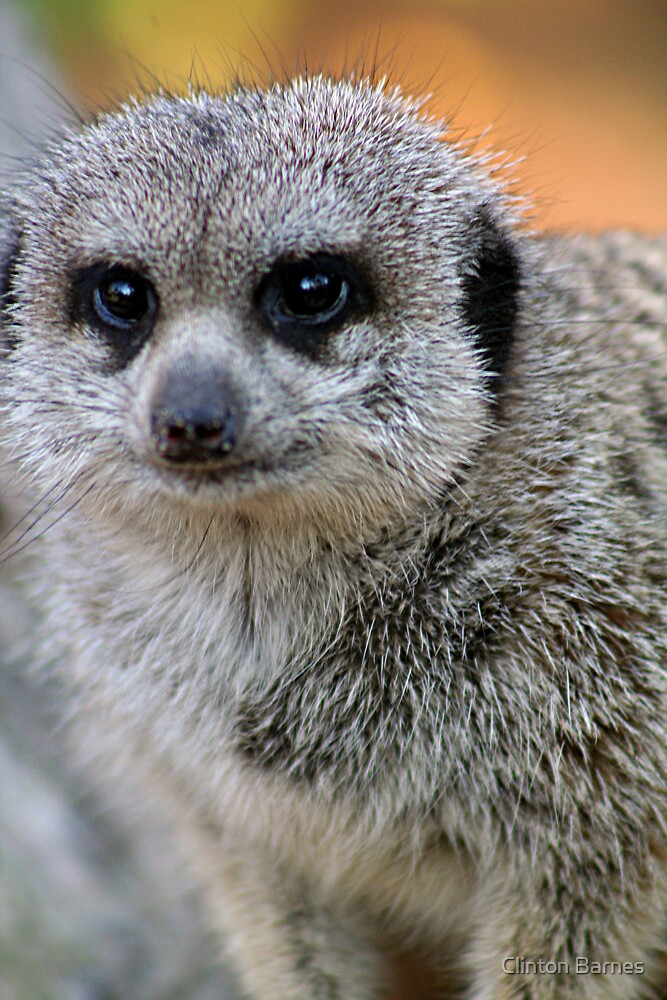 Meerkat 2 by Clinton Barnes