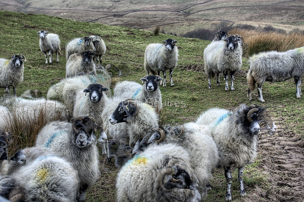 Ghostly Yorkshire Sheep by Dan Squires