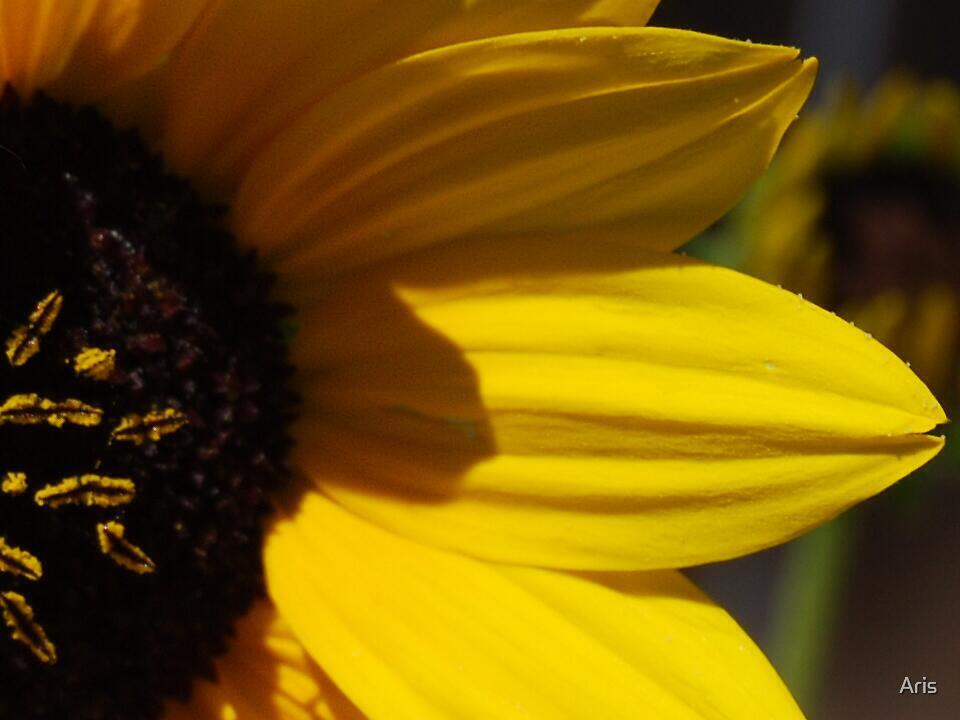 Sun Flower by Aris