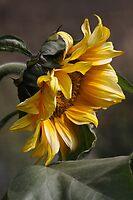 sunflower by Iris MacKenzie