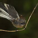 New Zealand Fantail by Robyn Carter