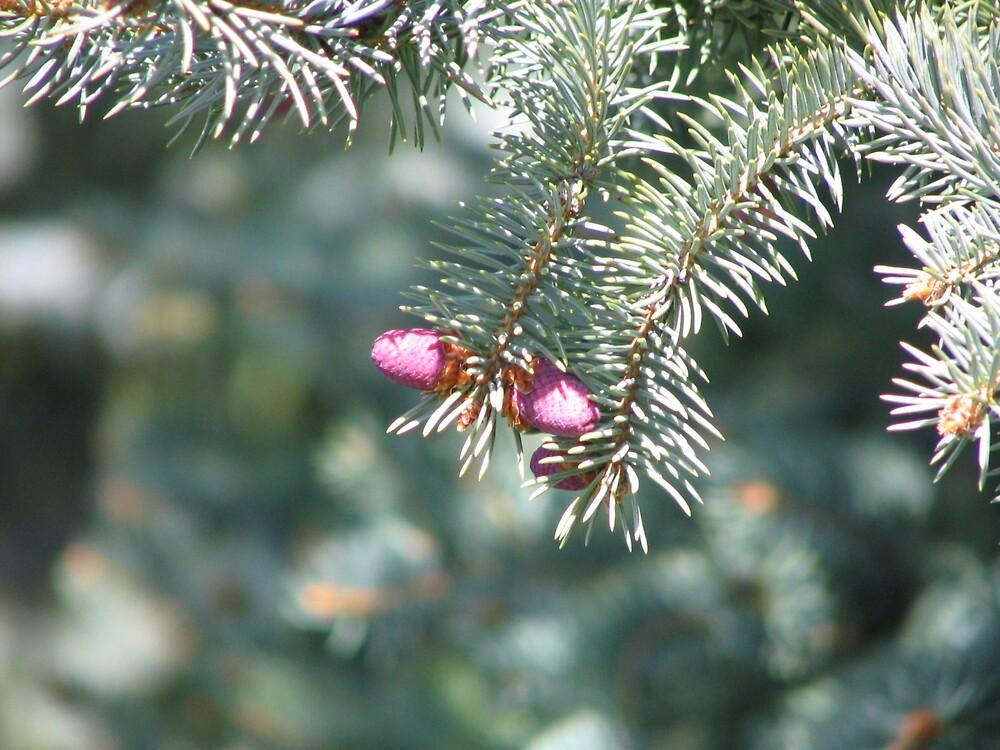Pine Cone by Jess Wellington