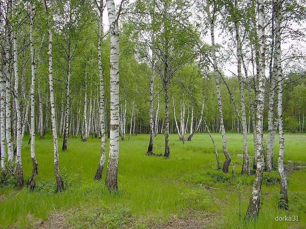 birch trees by dorka31