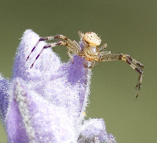 Spider on lavender bud by wildrider58