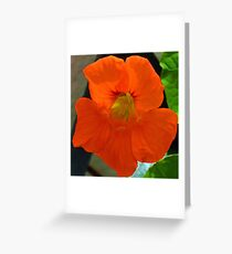 Bright Nasturtium............ Greeting Card