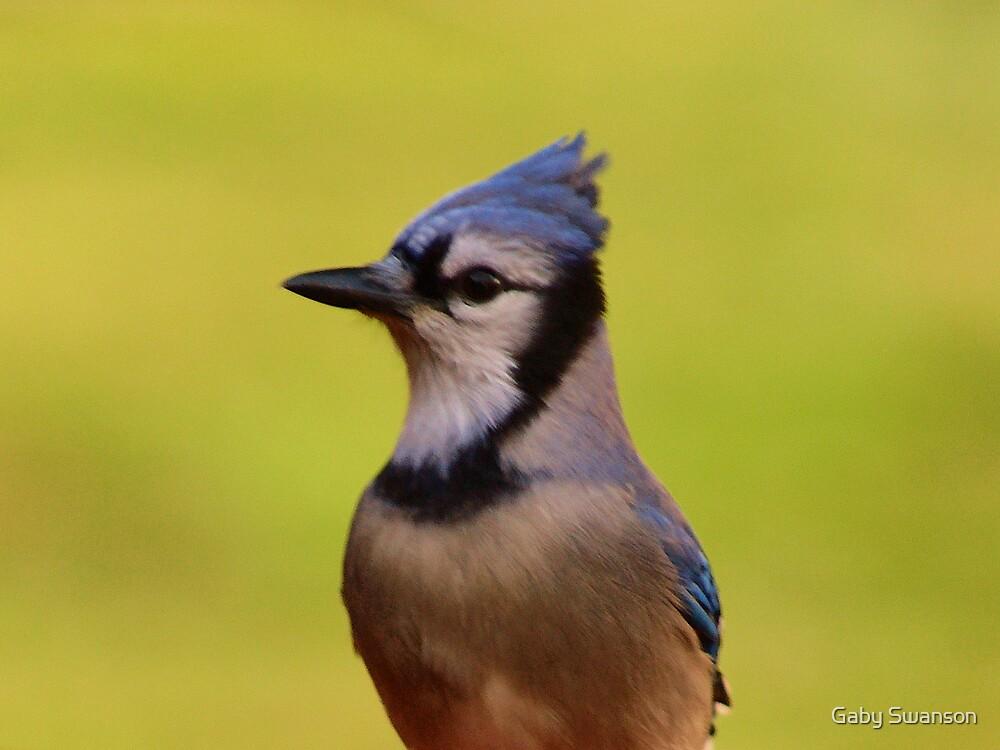 Blue Jay by Gabi Swanson