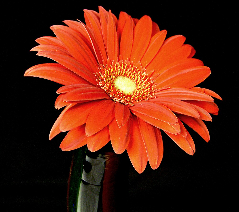 Orange Gerber Daisy in a Vase by Swede