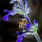 Bee on Lavender Leith Park Victoria  20170324 1434 by Fred Mitchell