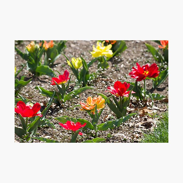 Red Orange Yellow Flowers in Garden Photographic Print