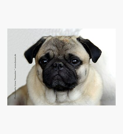 mops little dog Photographic Print