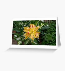 Overbloomed Red and Yellow Tulip Greeting Card