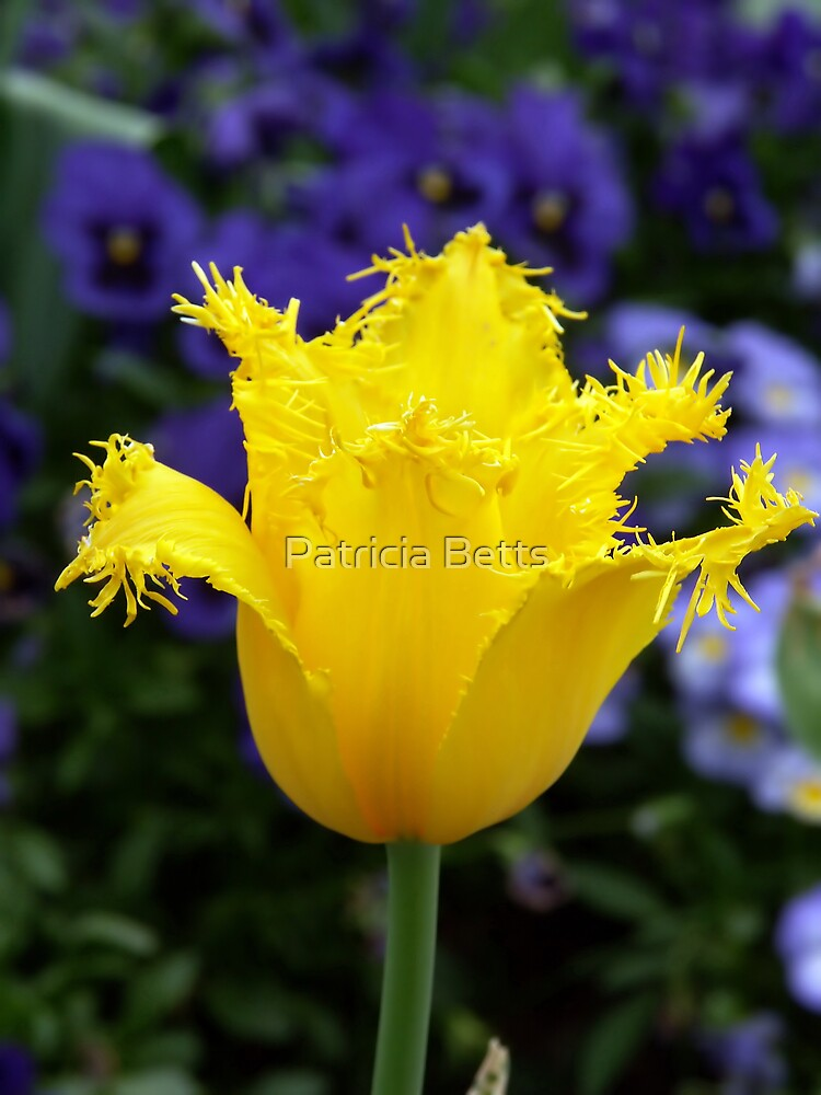 Yellow Tulip by Patricia Betts