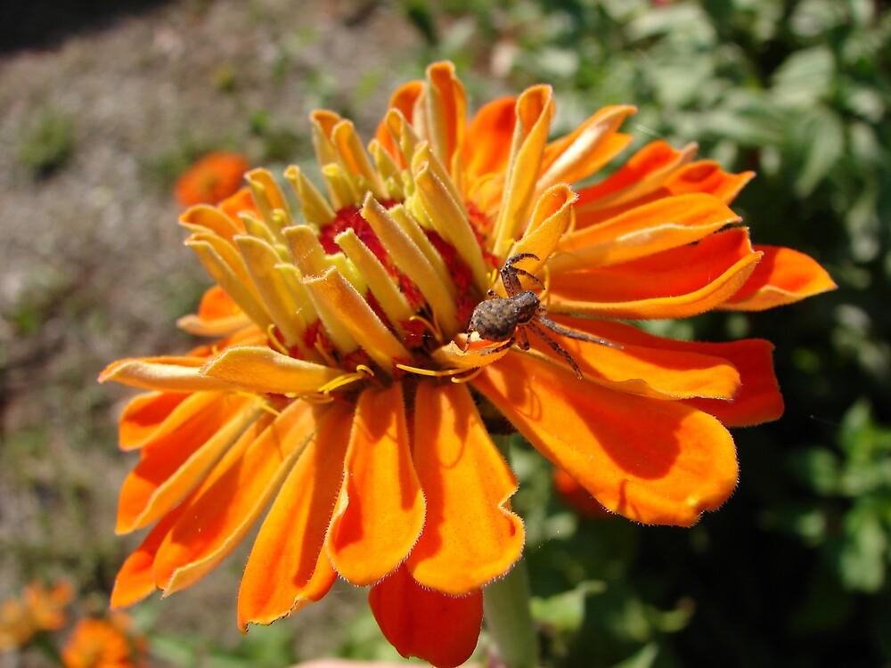 Spider on farm flower by inventor